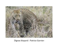 02 PG léopard