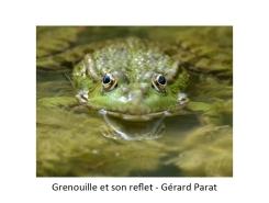 14 GP grenouille