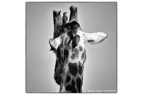 CD 10 girafe et oiseau_4248