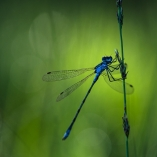 MP agrion aube-1