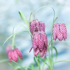 fritilaire