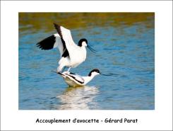 accouplement_avocette_GP