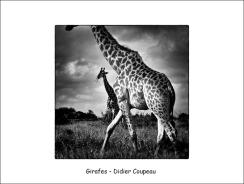 girafes DC