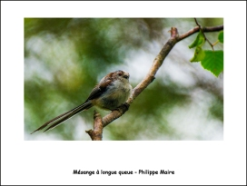 mésange_longue_queue_PhM