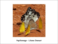 papillonnage_LC