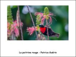 poitrine_rouge_Pg