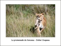 promenade_lionceau_DC