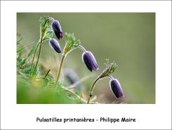 pulsatilles_printanières_phm