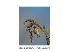 Remiz acrobate_phm