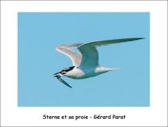sterne_proie_GP