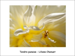 tendre_punaise_LC